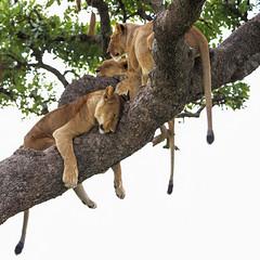 A Sleepy Impression (AnyMotion) Tags: lion löwe pantheraleo lioness löwin tree baum liontree 2018 anymotion morukopjes serengeti tanzania tansania africa afrika travel reisen animal animals tiere nature natur wildlife 6d canoneos6d square 1600x1600 ngc