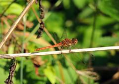 Common Darter (Mama_Kin) Tags: dragonfly dragonflies damselfly damselflies odonata zygoptera