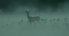 Morning fog (hardy-gjK) Tags: deer fog reh nebel morning morgen le matin brouillard wildlife animals tiere mammals animaux hardy nikon d 500 first light erstes licht première lumière