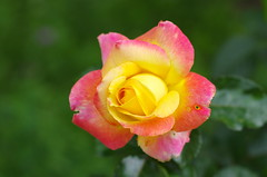 The imperfect rose (Baubec Izzet) Tags: baubecizzet pentax bokeh rose flower summer nature