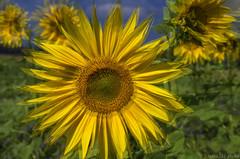 Sunflower Impressions (KF-Photo) Tags: überlagerung einsiedel makro sommerfarben sonnenblume sonnengelb sunflower blende8sonnelacht
