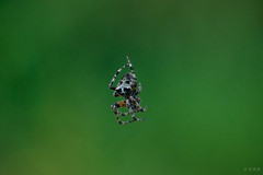 Unknown Spider (era.ph) Tags: spider natura forest trees natural nature simple hermoso bello subtle amazing increible north america nikond5300 muskoka canada nikon perspective patience observe exposure love amor gracias thanks