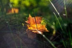 Autumn leaf (Stefano Rugolo) Tags: stefanorugolo pentax k5 pentaxk5 kepcorautowideanglemc28mm128 ricohimaging autumn leaf lensflares flares grass moss impression abstract depthoffield bokeh background manualfocuslens manualfocus manual vintageprimelens vintagelens vintageprime