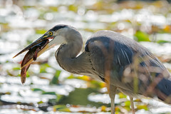 They did not see eye to eye...now they do! (miro_mtl) Tags: ardeaherodias d7200 grandhéron greatblueheron heron jardinbotanique michelrochon montreal nikon nikond7200 outdoors rosemont tamron tamronsp150600mm america amerique animals bird blue botanicalgarden botanique canada chasse chasseur fish fishing grand hunter hunting jardin marais marsh nature parc patience pond prey quebec waiting wildlife étang