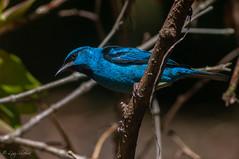 Saí-azul (Luiz R. Silveira) Tags: sigma70300mm nikond5000 birdphotography telephoto brasil brazil avesdobrasil pássaros wildlife joinville colourful nature animalia sudamerica naturaleza feather saíazul dacniscayana