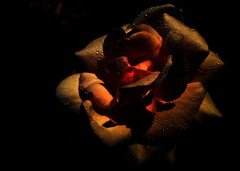 Dew on rose petals. (ALEKSANDR RYBAK) Tags: роза цветок цветы лепестки роса капли вода rose flower flowers petals dew drops water macro closeup