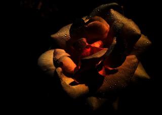 Dew on rose petals.