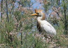 Héron garde-boeufs (charvin7352) Tags: westerncattleegret egret heron héron hérongardeboeuf oiseau bird nature naturephotography photonature camargue animalier animal