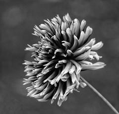 The single dahlia!😊 (LeanneHall3 :-)) Tags: blackandwhite mono dahlia petals bokeh bokehlicious closeup closeupphotography macro macrophotography macroflowerlovers macrounlimited flower flowersarefabulous flowerarebeautiful flowerflowerflower canon 1300d