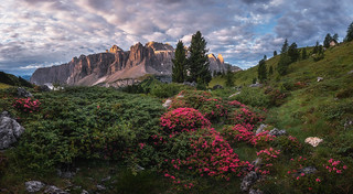 Rhododendron flowers above the Val Gardena mountain pass