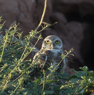 Burrowing Owl [Western] (Athene cunicularia hypugaea) 08-03-2018 Scottsdale Community College, Maricopa Co. AZ 5