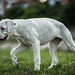 Young White Boxer Dog Walking in the Field