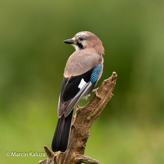 Eurasian Jay (Explored 20/09/2018)