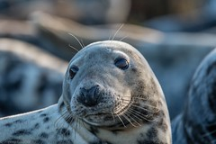 Seal-3 (rackhs) Tags: 150600mm d7500 holiday seahouses sigma nature seal wildlife