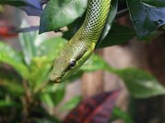 Snake / Schlange (only_point_five) Tags: snake animal zoo berlinzoologicalgarden berlin germany macro fuji s6500fd schlange tier tierpark zoologischergartenberlin deutschland makro aquariumberlin