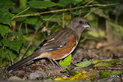Eastern Towhee (jt893x) Tags: 150600mm bird d500 easterntowhee female jt893x nikon nikond500 pipiloerythrophthalmus sigma sigma150600mmf563dgoshsms sparrow towhee thesunshinegroup coth alittlebeauty