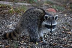140A0570 (Ricky Floyd) Tags: raccoon canon