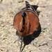 Upupa africana (African Hoopoe)