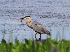 * Great Blue Heron / Grand Héron (ricketdi) Tags: grandhéron ardeaherodias greatblueheron coth5