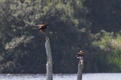 Marsh harrier and osprey #1 (Steve Balcombe) Tags: bird raptor birdofprey osprey pandion haliaetus marsh harrier circus aeruginosus noahs lake shapwickheath avalonmarshes somerset levels uk