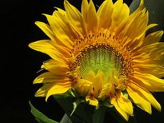 Good day sunshine (Waldrebe) Tags: sonnenblume sunflower helianthusannuus