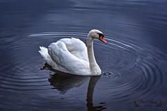 Cygne ( photopade (Nikonist)) Tags: etangs somme sommepicardie oiseaux oiseau cygne nikond7100 nikon apple affinityphoto afsdxvrzoomnikkor1685mmf3556ged