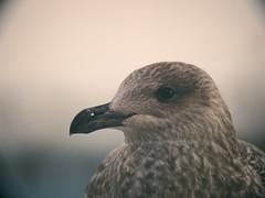 Bird Bokeh - Schleswig-Holstein - Germany (torstenbehrens) Tags: bird bokeh schleswigholstein germany m42f8500mm zhongyi objektiv turbo ii efm43 wecellent m42ef adapter