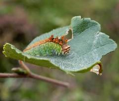 Pebble Hook-tip [Drepana falcataria] (rockwolf) Tags: pebblehooktip drepanafalcataria moth larva lepidoptera insect silverbirch brownmoss shropshire rockwolf