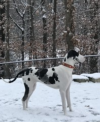 Kramer-1 (Alpen Schatz - Mary Dawn DeBriae) Tags: happy customer alpenschatz bernesemountaindog dog swissdogcolar hunterswisscrosscollar doggles stein