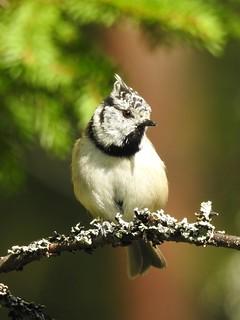 Crested Tit (Lophophanes cristatus)