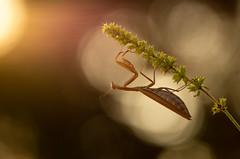 Vers la lumière. (schwartzdavid57) Tags: 2018 macro mante religieuse mantis pentax proxy 300mm 180mm sigma soleil