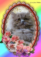 Yiska our Lilac Persian darling (mensinkr) Tags: woman female cat kat lilac persian pers longhair langhaar vrouwtje mammals zoogdier huisdier pets animalsdieren darling