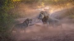 Among the Ranks (Ryan Dyar) Tags: ryandyar wildlife gamereserve erindi namibia africa fight lion lions