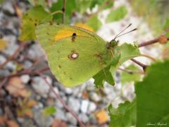 Butterfly 1723 (+1300000 views!) Tags: butterfly borboleta farfalla mariposa papillon schmetterling فراشة