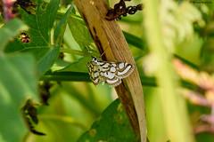 Beautiful China-mark (Nymphula nitidulata) (Hoppy1951) Tags: swansea gbr wales uk neathandtennantcanal pantysaisnnr allanhopkins hoppy1951 beautifulchinamark nymphulanitidulata micromoth
