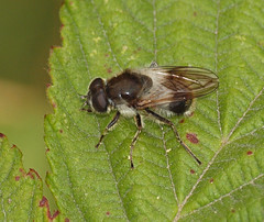 2018_07_0395 (petermit2) Tags: hoverfly northcavewetlands northcave brough eastyorkshire eastridingofyorkshire yorkshire yorkshirewildlifetrust ywt wildlifetrust wildlifetrusts