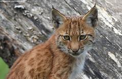 Eurasian Lynx cub - Dierenrijk (Mandenno photography) Tags: dierentuin dierenpark lynx eurasian luchs zoo dieren dierenrijk nederland big cat cats animal animals