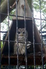 Barred Owl (Emily K P) Tags: baybeachwildlifesanctuary baybeach greenbay wildlife animal owl barredowl feathers pattern cage squares bird