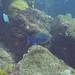 Queen Triggerfish (2)