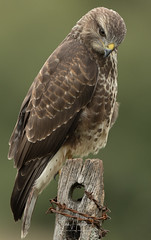 Common Buzzard (Ian howells wildlife photography) Tags: ianhowells ianhowellswildlifephotography nature naturephotography nationalgeographic canon canonuk wildlife wildlifephotography wales wild wildbird buzzard birdofprey bbcspringwatch