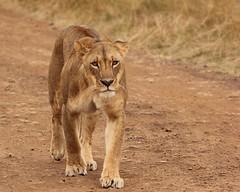 Sizing up (Nagarjun) Tags: lioness nairobinationalpark kenya eastafrica wildlife carnivore bigcat bigfive female safari gamedrive