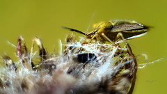 Wanze (seyf\ART) Tags: macros nahaufnahmen nature natur helios44 insects insekten