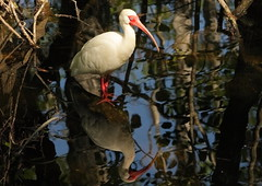 3S5X6798 Ibis (Eileen Fonferko) Tags: bird ibis nature wildlife animal