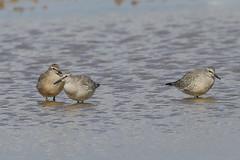 Knot (Dougie Edmond) Tags: bird nature wildlife water wader