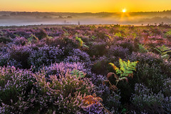 Purple and green (Wizmatt) Tags: newforest national park landscape photography sunrise sunburst heathland heather bracken flowers light goldenhour sigma1020mm