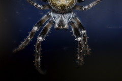 Urban Pacification (Robin Shepperson) Tags: spider eyes predator lights night urban blue closeup arachnid berlin germany city wildlife nature d3400 nikon legs hairs hairy dark