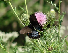 Swallowtail on Thistle (mcnod) Tags: mcnod butterfly swallowtail thistle troyhill elkridge september 2018