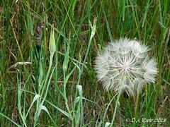 GOAT'S-BEARD (Picsnapper1212) Tags: goatsbeard flower wildflower seeds poppom parachutes plant nature carmodypark warrencounty ohio 2009