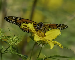 MonarchButterfly_SAF5934 (sara97) Tags: danausplexippus butterfly copyright©2018saraannefinke flowers insect missouri monarch monarchbutterfly nature photobysaraannefinke pollinator saintlouis towergrovepark urbanpark