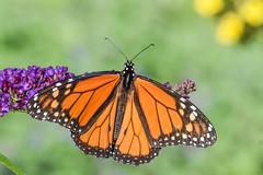 DSC_7056 (greenjay2) Tags: butterflies insects male monarchdanausplexippus status